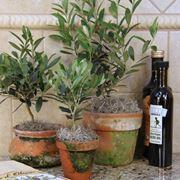 olivo in vaso