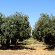 potatura olivo ornamentale