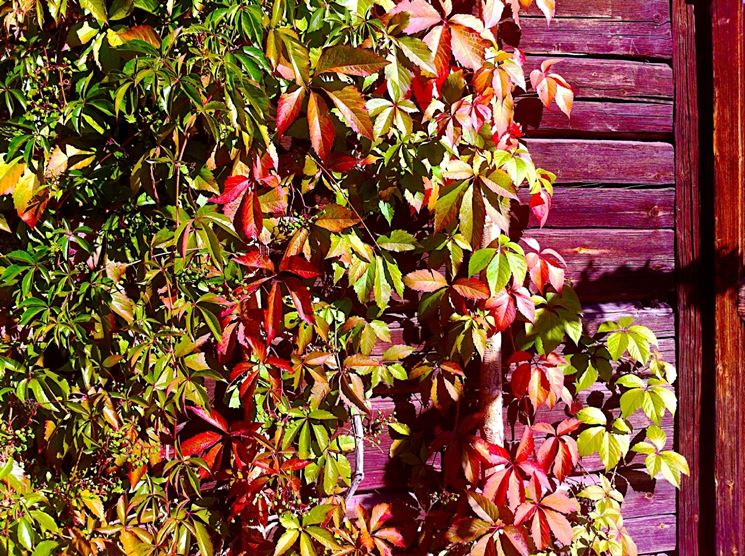 vite canadese foglie