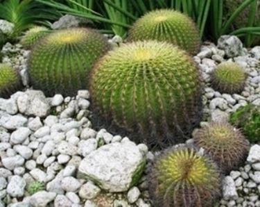 cactus rotondi