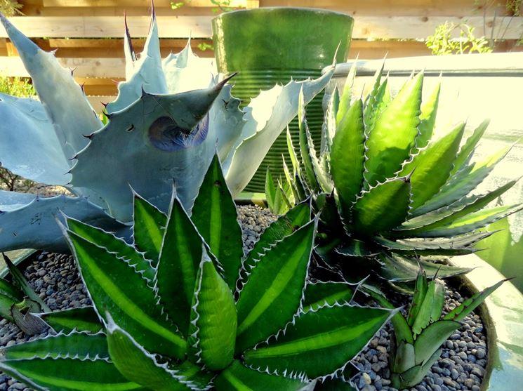 agave in vaso