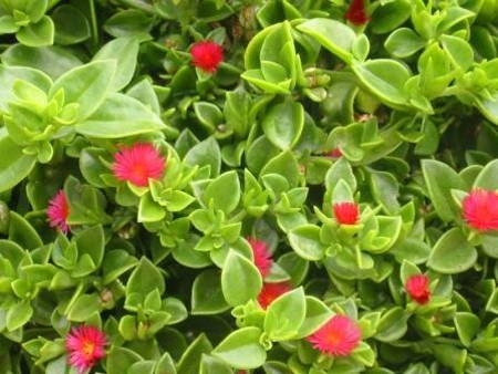 Concime piante grasse piante grasse - Piante grasse da esterno pendenti ...