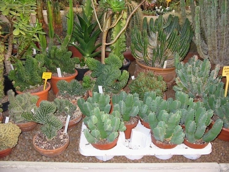 Cura piante grasse piante grasse come curare le piante for Tutte le piante grasse