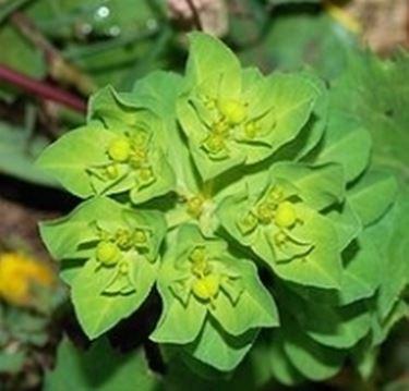 fiori euphorbia