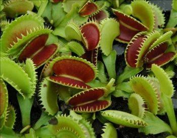 Piante carnivore piante grasse for Pianta carnivora dionea