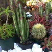 Composizioni piante grasse piante grasse for Piante grasse ornamentali