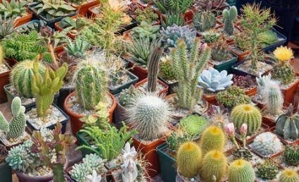 Piante grasse cactus piante grasse for Pianta cactus