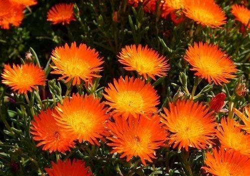 Piante grasse con fiori - Piante Grasse