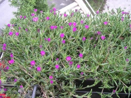 Piante grasse da balcone piante grasse for Piante fiorite perenni da esterno