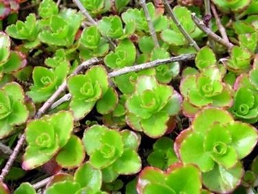 pianta sedum
