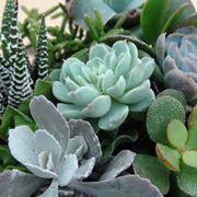 Specie di piante grasse