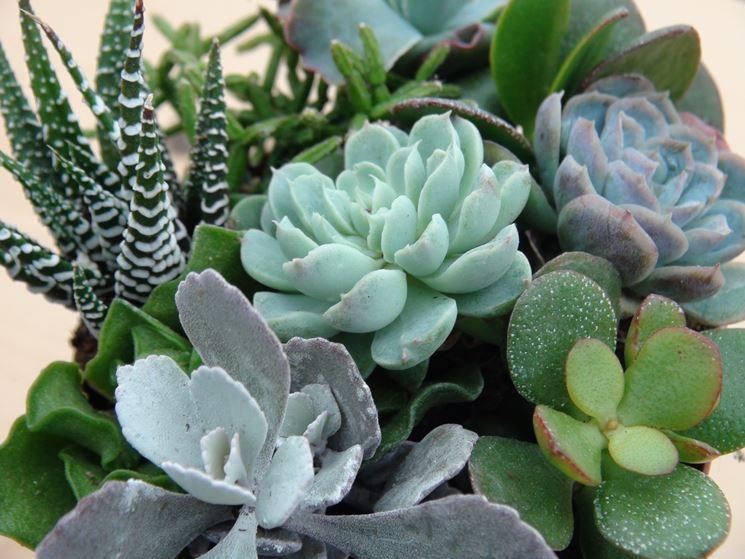Specie di piante grasse piante grasse variet di for Tutte le piante grasse