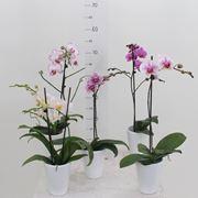 vaso orchidea